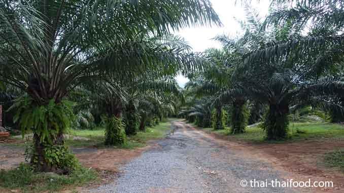 Ölpalmen Plantage auf der Insel Phuket