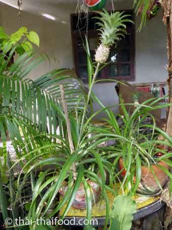 Ananas Zierpflanze
