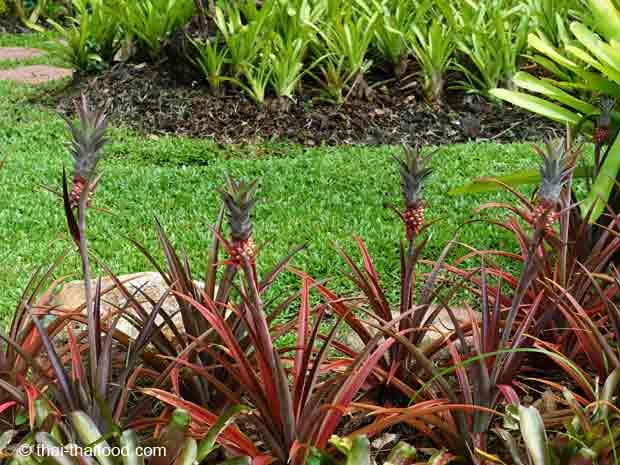 Rama IX Park Bangkok Ananaspflanzen