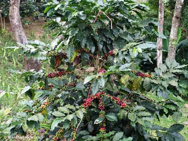 Arabica Thai Kaffeestrauch