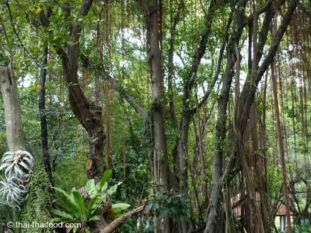 Exotische Bäume im Rama 9 Park Bangkok