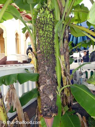 Bananenblüte mit vielen kleinen Bananen