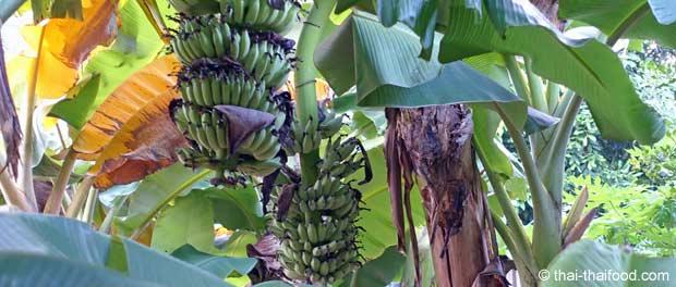 Thai Bananenstauden