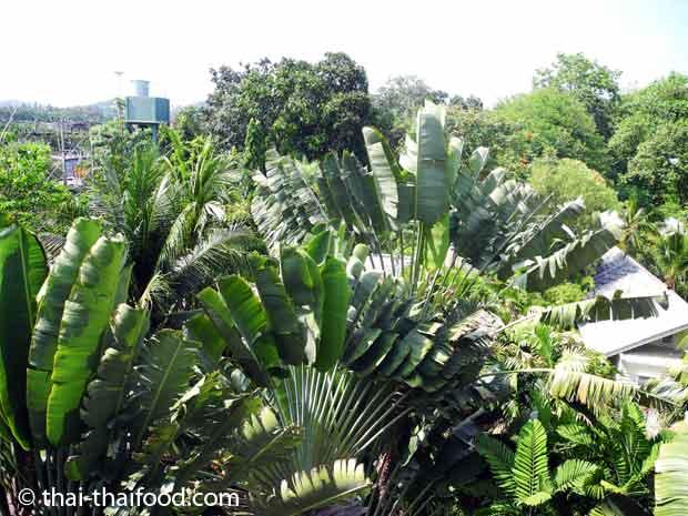 Baum der Reisenden am Hotel in Koh Samui