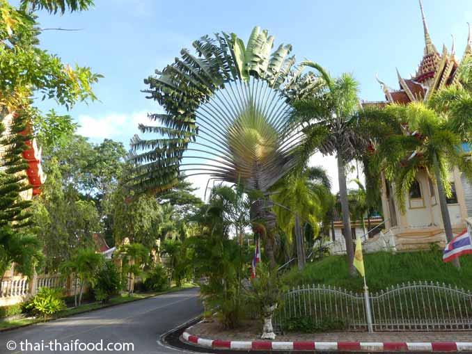 Baum der Reisenden am Tempel Wat Phra Thong Phuket