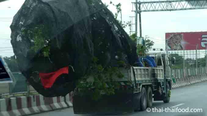 Thailand Bäume transportieren