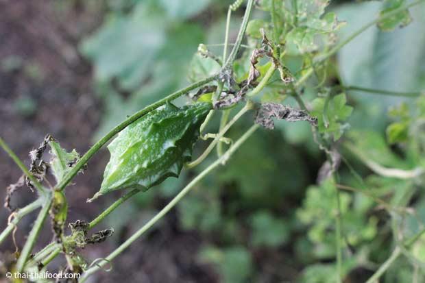 Mara Kee Nok - Thailändische Bittermelone