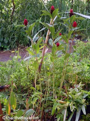 Inwerpflanze mit Ingwerblüte