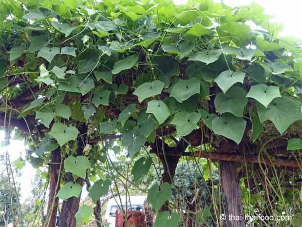 Chayote Kletterpflanze mit vielen Blättern