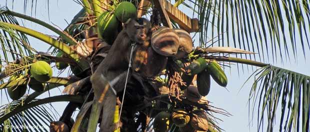 Kokosnussernte mit dressierten Makaken Affen