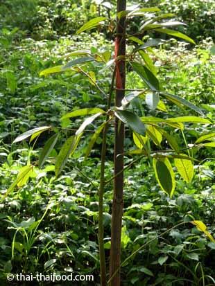 Junger Durianbaum
