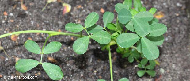 Junge Erdnusspflanze