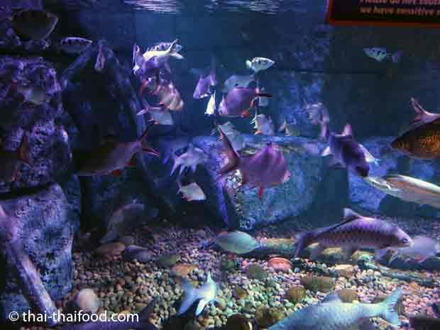 Fische aus dem Regenwald
