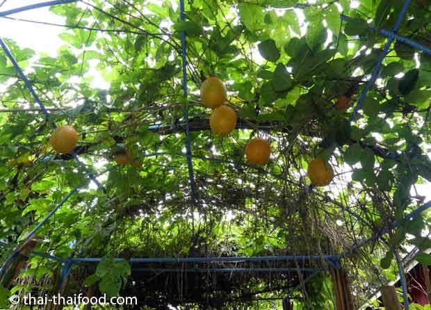 Gacfrucht Anbau