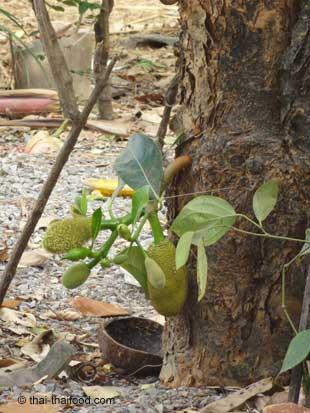 Jackfrucht wächst direkt am Baum