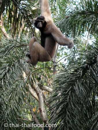 Gibbons in Phuket