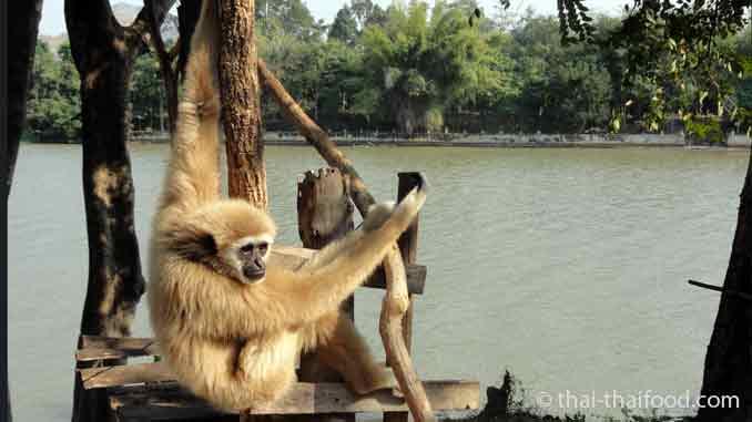 Gibbon Thailand an der Leine gehalten