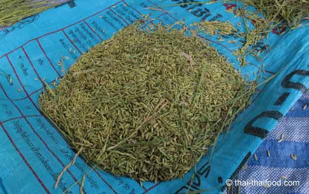 Grüne unreife Reiskörner mit Spelzen