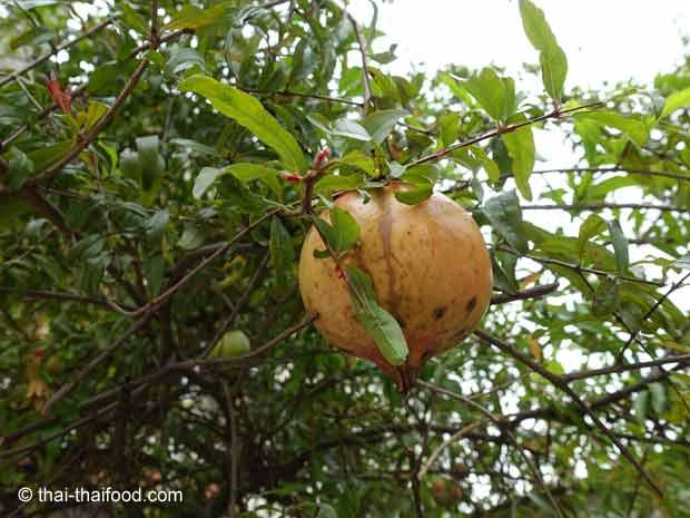Granatapfelbaum mit Granatapfel