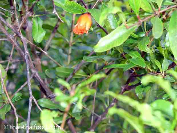 Granatapfelbaum Blüte
