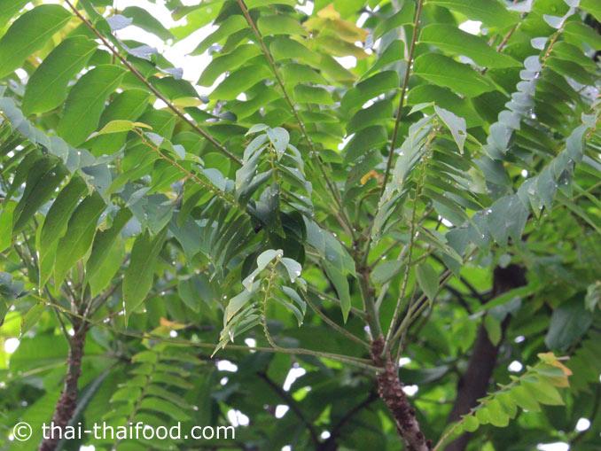 Blätter des Grosella Stern-Stachelbeerbaumes