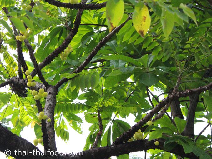 Baumstachelbeeren am Baum