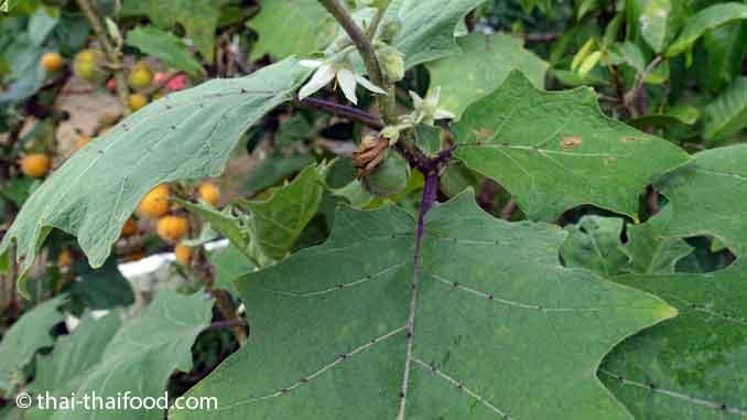 Hairy Eggplant Blüten