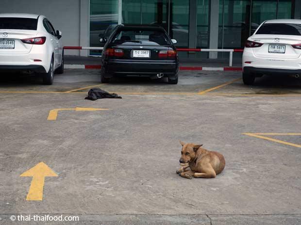 schlafende Hunde auf einem Parkplatz in Bangkok