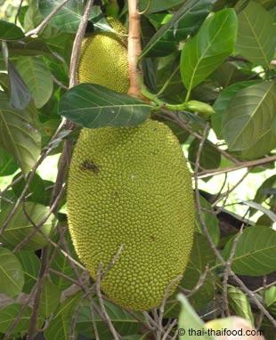 Grüne Jackfrucht