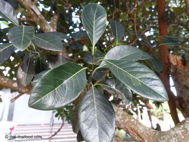 Blätter des Jackfruchtbaumes