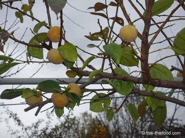 Kaki Früchte im Winter am Baum