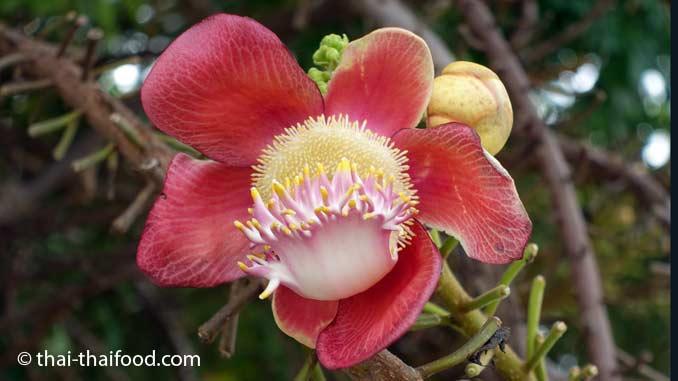 Kanonenkugelbaum Blüte