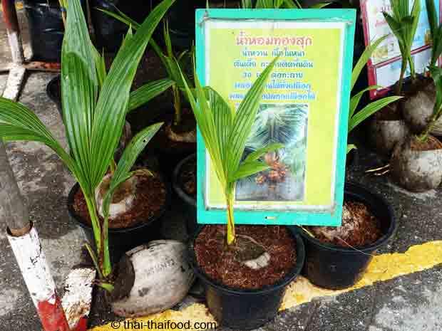 Kokospalmen zum Anpflanzen