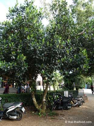Thai Jackfruchtbaum