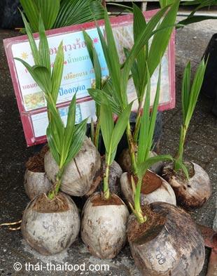 Kokospalmen Setzlinge zum kaufen