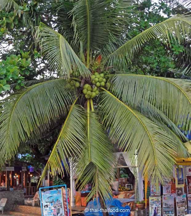 Palmwedel der Kokospalme
