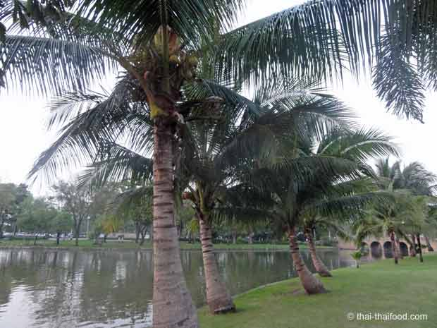 Chatuchak Park mit Kokospalme