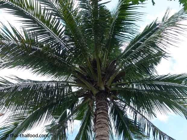 Kokos Palmwedel
