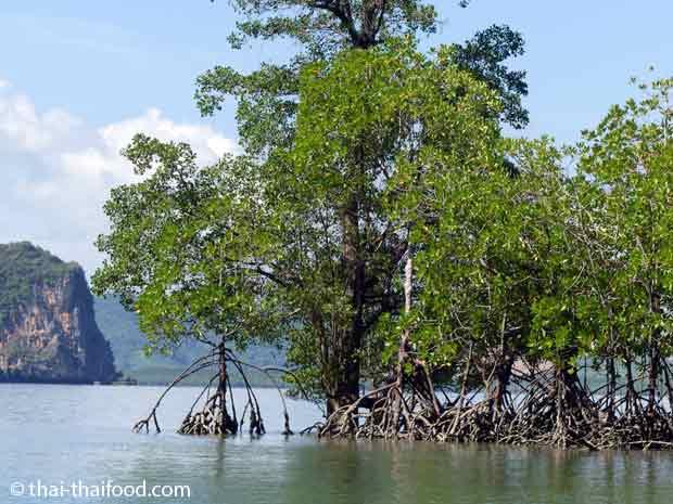 Mangrovenbäume im Wasser