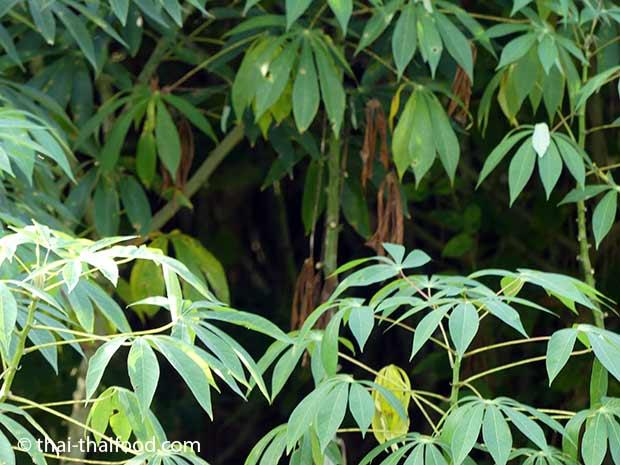 Maniokblätter