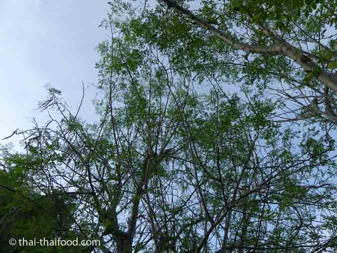 Moringa Oleifera Baum mit Marum Früchten