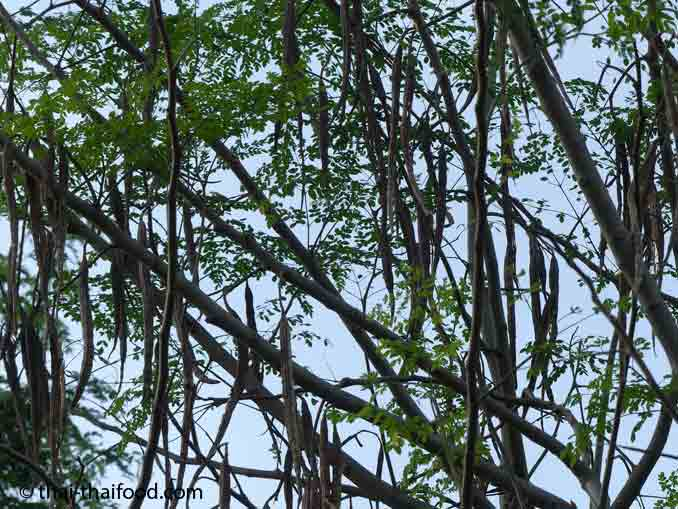 Vertrocknete Moringasticks am Baum