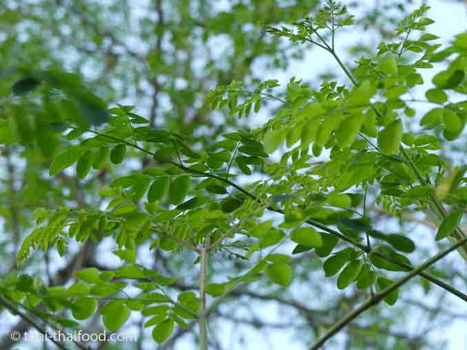 Moringablätter