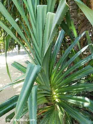 Pandan Palmen Blätter