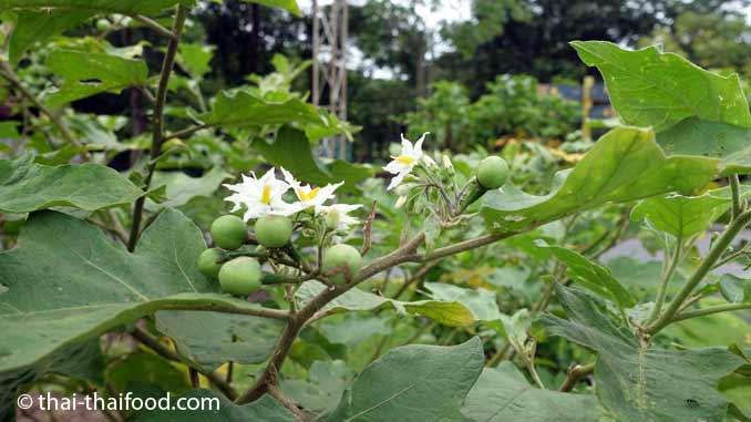 Pea Auberginen mit Blüten