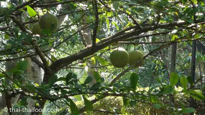 Thailändischer Pomelobaum