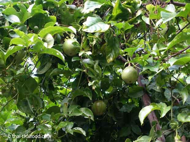 Ranken und Früchte der Purpurgranadilla