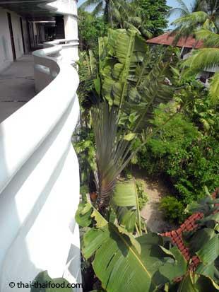 Ravenala Baum auf der Insel Koh Samui