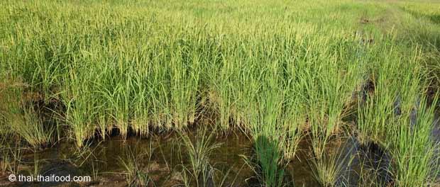 Reispflanzen unter Wasser