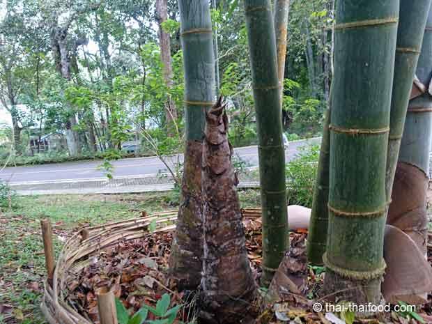 Bambussprossen des Riesenbambus